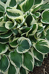 Patriot Hosta (Hosta 'Patriot') at Westwood Gardens