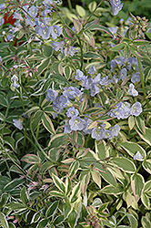 Touch Of Class Jacob's Ladder (Polemonium reptans 'Touch Of Class') at Westwood Gardens