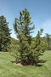 Japanese Black Pine (Pinus thunbergii) at Westwood Gardens