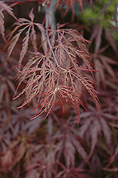 Red Select Japanese Maple (Acer palmatum 'Red Select') at Westwood Gardens