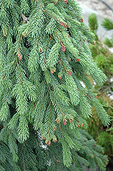 Weeping White Spruce (Picea glauca 'Pendula') at Westwood Gardens