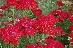 Pomegranate Yarrow (Achillea millefolium 'Pomegranate') at Westwood Gardens