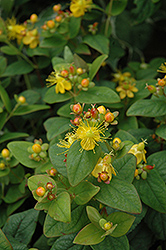 Mystical Black St. John's Wort (Hypericum 'Mystical Black') at Westwood Gardens