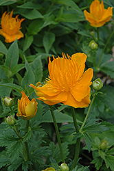 Golden Queen Globeflower (Trollius chinensis 'Golden Queen') at Westwood Gardens