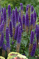 Royal Candles Speedwell (Veronica spicata 'Royal Candles') at Westwood Gardens