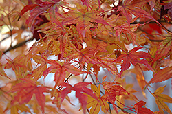 Butterfly Variegated Japanese Maple (Acer palmatum 'Butterfly') at Westwood Gardens