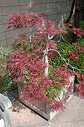 Ever Red Lace-Leaf Japanese Maple (Acer palmatum 'Ever Red') at Westwood Gardens