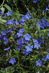 Grace Ward Lithodora (Lithodora 'Grace Ward') at Westwood Gardens
