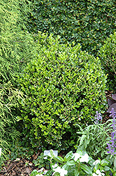 Winter Gem Boxwood (Buxus microphylla 'Winter Gem') at Westwood Gardens