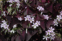 Purple Shamrock (Oxalis regnellii 'Triangularis') at Westwood Gardens