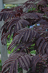 Summer Chocolate Mimosa (Albizia julibrissin 'Summer Chocolate') at Westwood Gardens