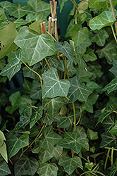 Thorndale Ivy (Hedera helix 'Thorndale') at Westwood Gardens