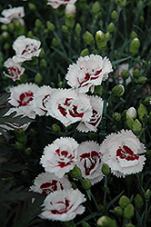 Scent First® Coconut Surprise Pinks (Dianthus 'WP05Yves') at Westwood Gardens