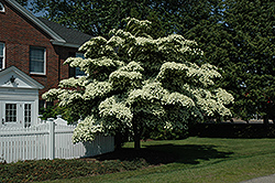 Chinese Dogwood (Cornus kousa) at Westwood Gardens