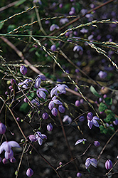 Splendide Meadow Rue (Thalictrum delavayi 'Splendide') at Westwood Gardens