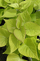 Sweetheart Light Green Sweet Potato Vine (Ipomoea batatas 'Sweetheart Light Green') at Westwood Gardens