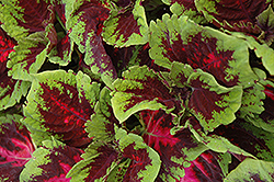 Kong Red Coleus (Solenostemon scutellarioides 'Kong Red') at Westwood Gardens