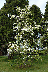 Eddie's White Wonder Flowering Dogwood (Cornus 'Eddie's White Wonder') at Westwood Gardens