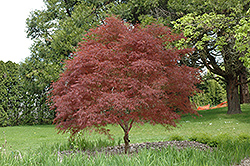Dwarf Red Pygmy Japanese Maple (Acer palmatum 'Red Pygmy') at Westwood Gardens