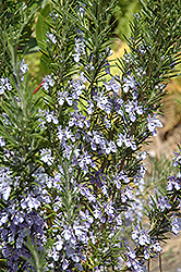 Rosemary (Rosmarinus officinalis) at Westwood Gardens
