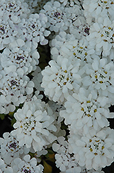 Masterpiece Candytuft (Iberis sempervirens 'Masterpiece') at Westwood Gardens