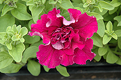 Double Cascade Red Petunia (Petunia 'Double Cascade Red') at Westwood Gardens