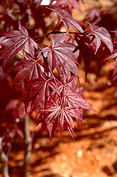 Glowing Embers Japanese Maple (Acer palmatum 'Glowing Embers') at Westwood Gardens