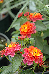 Lucky™ Sunrise Rose Lantana (Lantana camara 'Lucky Sunrise Rose') at Westwood Gardens