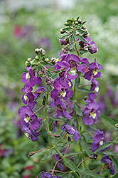 Blue Angelonia (Angelonia angustifolia 'Blue') at Westwood Gardens