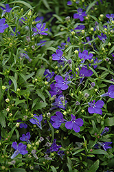 Riviera Midnight Blue Lobelia (Lobelia erinus 'Riviera Midnight Blue') at Westwood Gardens