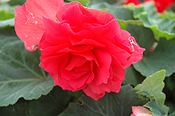 Nonstop® Bright Red Begonia (Begonia 'Nonstop Bright Red') at Westwood Gardens