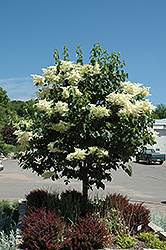 Snowdance™ Japanese Tree Lilac (Syringa reticulata 'Bailnce') at Westwood Gardens