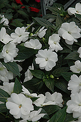 Super Sonic White New Guinea Impatiens (Impatiens hawkeri 'Super Sonic White') at Westwood Gardens