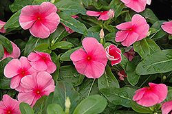 Sunstorm Rose with Eye Vinca (Catharanthus roseus 'Sunstorm Rose with Eye') at Westwood Gardens