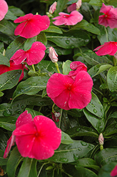 Sunstorm Red Vinca (Catharanthus roseus 'Sunstorm Red') at Westwood Gardens