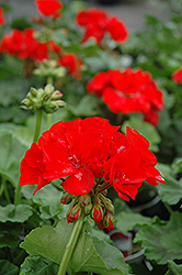 Rocky Mountain Red Geranium (Pelargonium 'Rocky Mountain Red') at Westwood Gardens