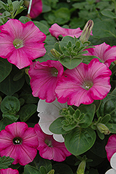 Supertunia® Raspberry Blast Petunia (Petunia 'Supertunia Raspberry Blast') at Westwood Gardens