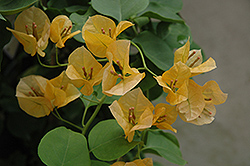 Gold Rush Bougainvillea (Bougainvillea 'Gold Rush') at Westwood Gardens
