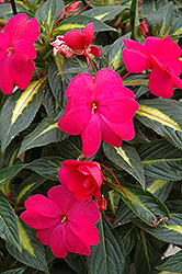 Sonic® Hot Rose on Gold New Guinea Impatiens (Impatiens 'Sonic Hot Rose on Gold') at Westwood Gardens