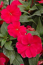 Sonic® Burgundy New Guinea Impatiens (Impatiens 'Sonic Burgundy') at Westwood Gardens