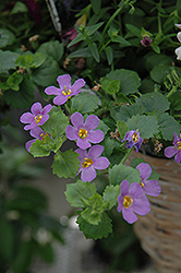 Snowstorm® Blue Bacopa (Sutera cordata 'Snowstorm Blue') at Westwood Gardens