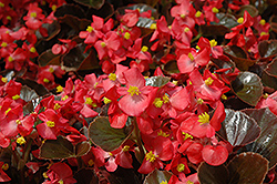 Harmony Scarlet Begonia (Begonia 'Harmony Scarlet') at Westwood Gardens