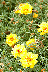Tequila Yellow Portulaca (Portulaca grandiflora 'Tequila Yellow') at Westwood Gardens