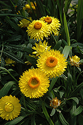 Dreamtime Jumbo Yellow Strawflower (Bracteantha bracteata 'Dreamtime Jumbo Yellow') at Westwood Gardens