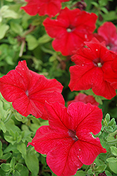 Super Cascade Red Petunia (Petunia 'Super Cascade Red') at Westwood Gardens