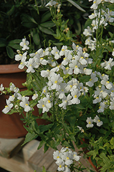 Compact Innocence Nemesia (Nemesia 'Compact Innocence') at Westwood Gardens