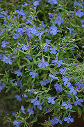 Techno® Heat Electric Blue Lobelia (Lobelia erinus 'Techno Heat Electric Blue') at Westwood Gardens