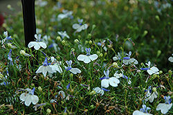 Hot Springs™ White Lobelia (Lobelia 'Hot Springs White') at Westwood Gardens