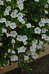 MiniFamous® Perfect White Calibrachoa (Calibrachoa 'MiniFamous Perfect White') at Westwood Gardens