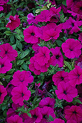 Wave Purple Petunia (Petunia 'Wave Purple') at Westwood Gardens